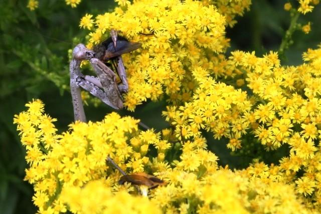 Praying mantis eating a fly