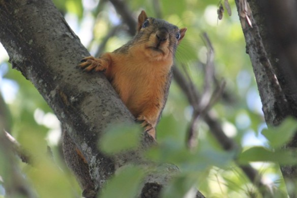 American Fox Squirrel
